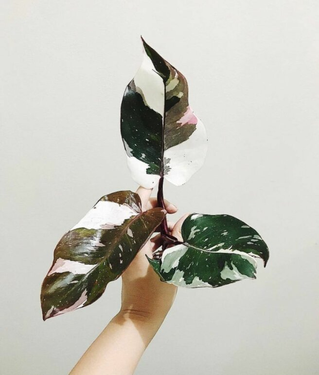 Philodendron White Knight. Foto: Pinterest